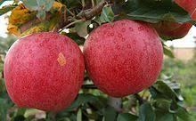 Apfel Gala öst. kg